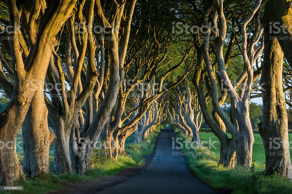The Dark Hedges - County Antrim - Northern Ireland Early morning sunlight on the 'Dark Hedges' - an avenue of ancient trees in County Antrim in Northern Ireland. Ancient Stock Photo