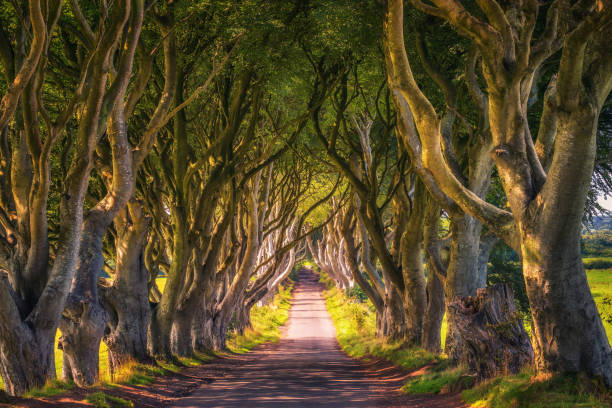The Dark Hedges in Northern Ireland at sunset stock photo