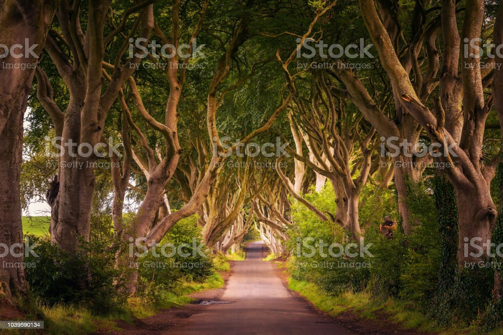 Road through the Dark Hedges tree tunnel at sunset in Ballymoney,...