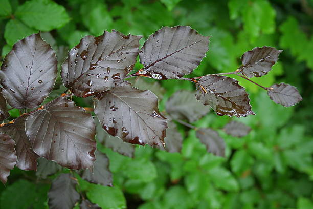The dark leaves of a Copper beech  pejft stock pictures, royalty-free photos & images