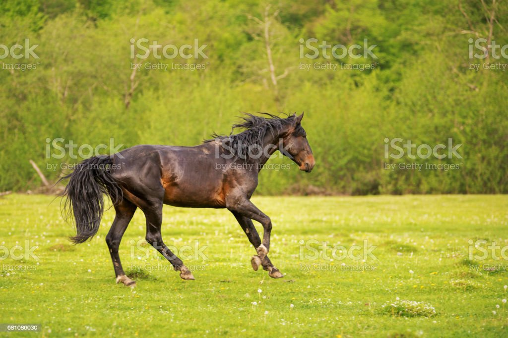 The Dark Stallion runs along the green pasture in the spring against the background of the green forest royalty-free stock photo