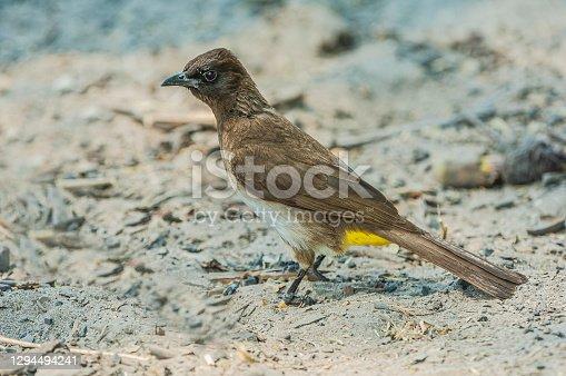 The dark-capped bulbul (Pycnonotus tricolor) is a member of the bulbul family of passerine birds. Chobe National Park, Botswana, Passeriformes, Pycnonotidae. Also called black-eyed bulbul, brown-capped bulbul, garden bulbul, Kenya Highlands dark-capped bulbul, Ngami dark-capped bulbul, tricoloured bulbul.