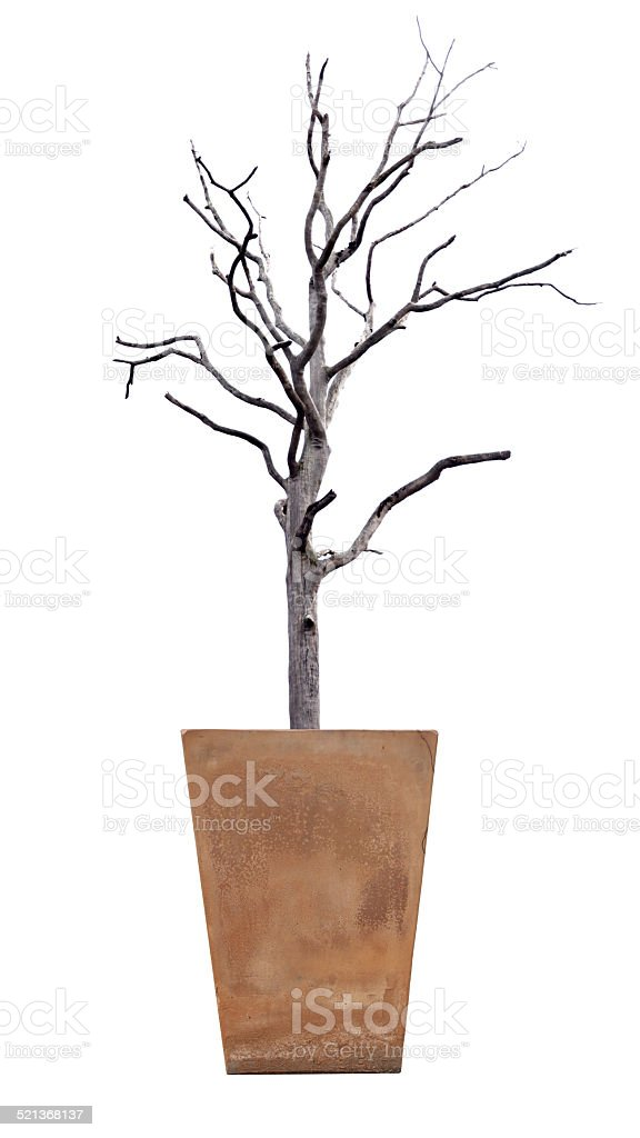 The dead tree in potted on white. stock photo