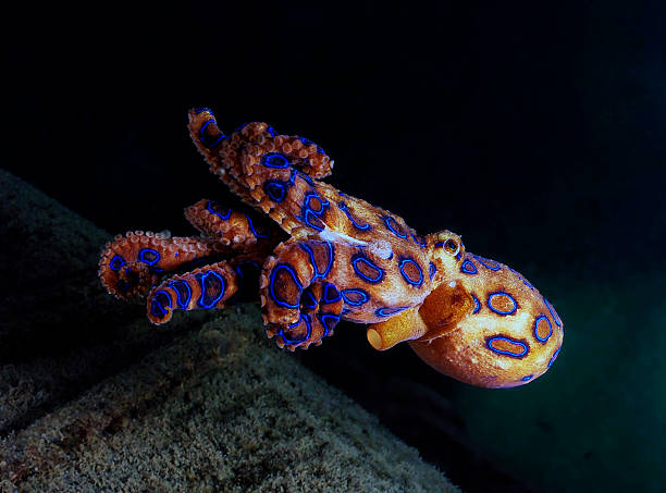 the deadly blue ringed octopus - octopus stock pictures, royalty-free photos & images
