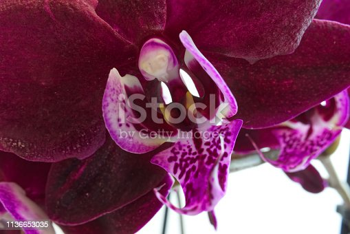 Macro photography of deep maroon phalaenopsis orchid flower with a spotted labellum