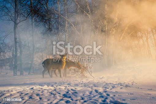 A group of sika deer in the morning light in the snow of birch forest