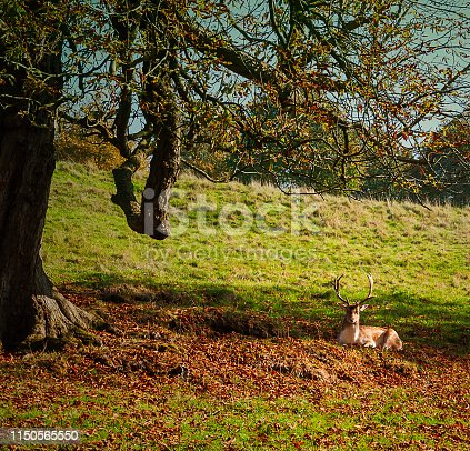 Deer lying on the grass - a natural scenery
