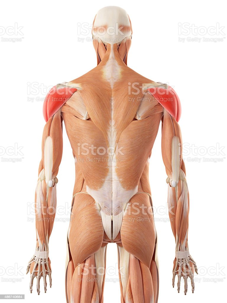 The Deltoid Muscle Stock Photo More Pictures Of 2015 Istock