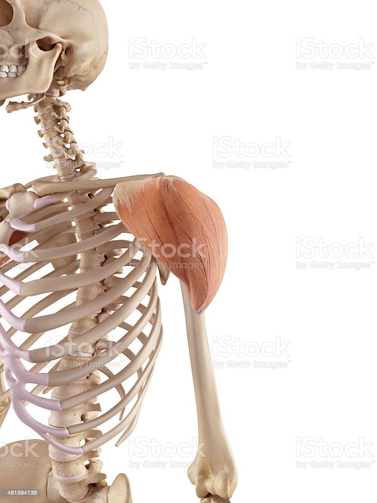 The deltoid stock photo