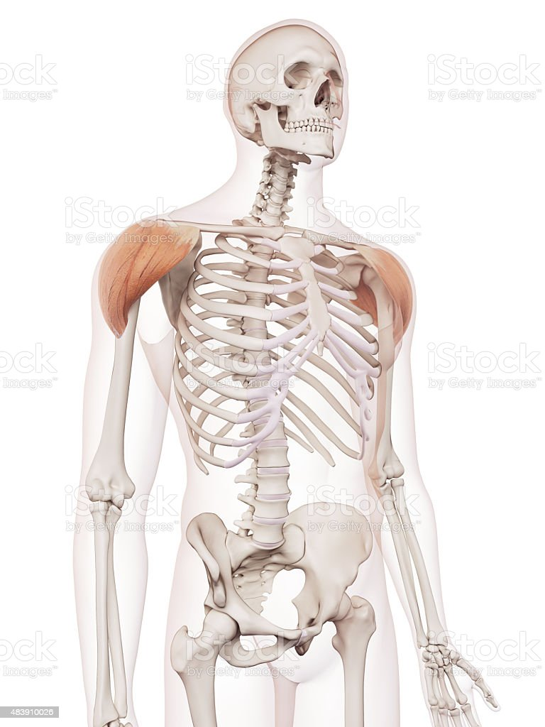 The Deltoid Stock Photo & More Pictures of 2015 | iStock