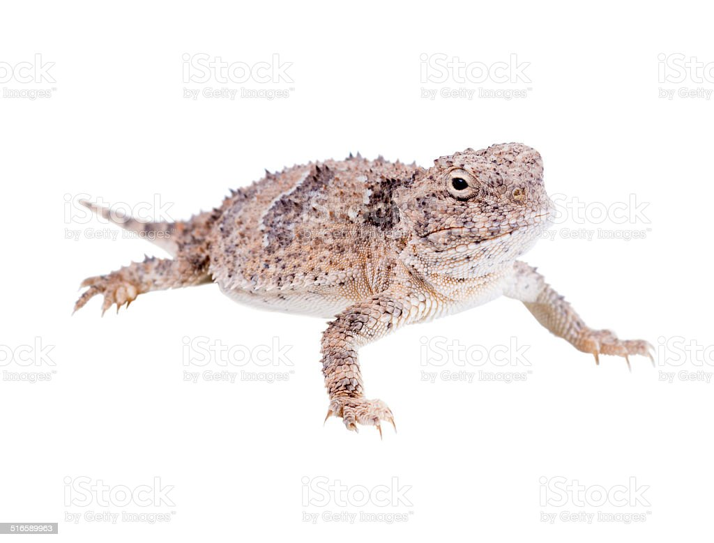 The desert horned lizard (Phrynosoma platyrhinos)  isolated on w stock photo