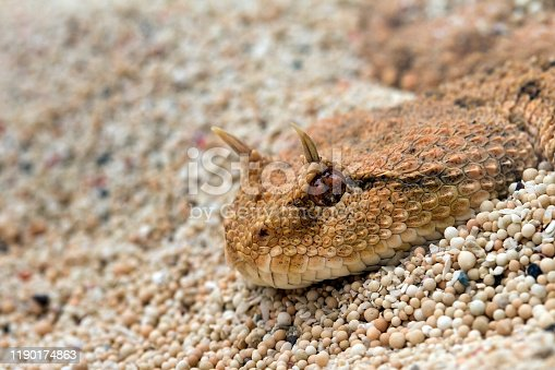 The desert horned viper