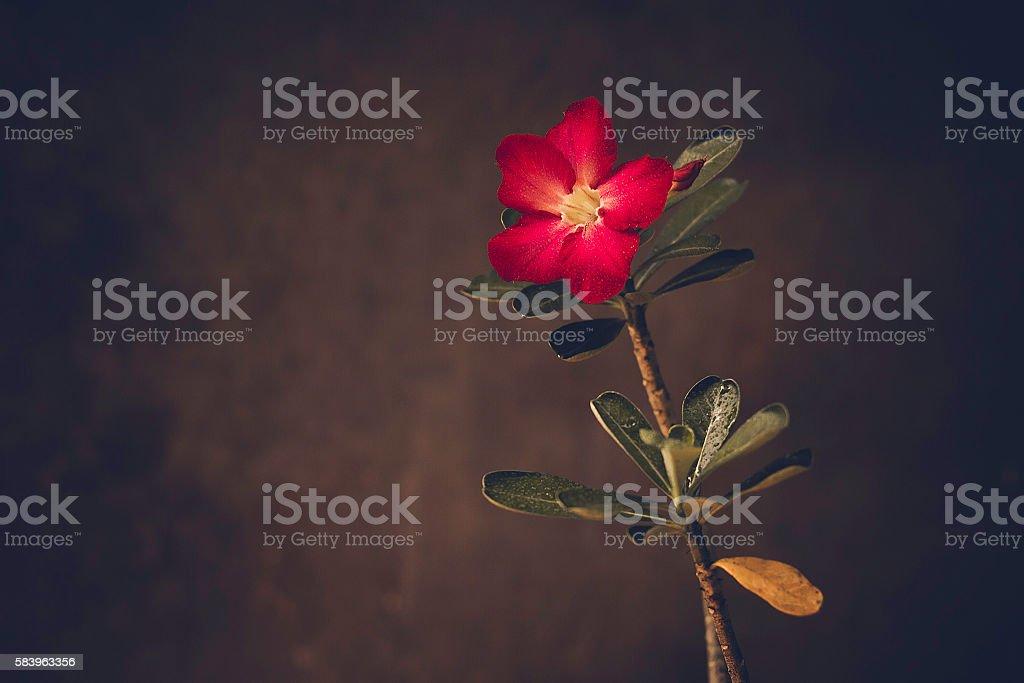 The desert Rose stock photo