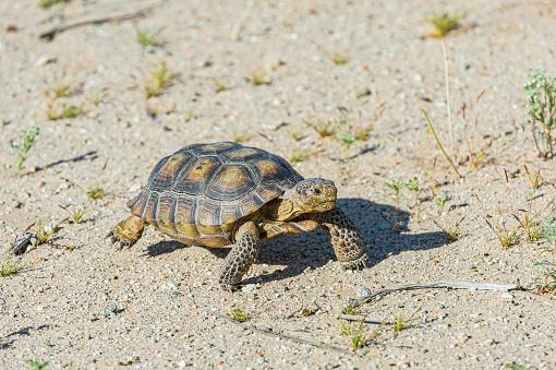 The Desert Tortoise, Gopherus agasszii, is found in Joshua Tree National Park, California