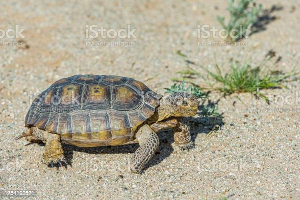 The desert tortoise gopherus agasszii is found in joshua tree park picture id1254162521?b=1&k=6&m=1254162521&s=612x612&h=nb5j pn1u mmmvhcfhy9st9jlzfqcquzcdzisjsskgi=