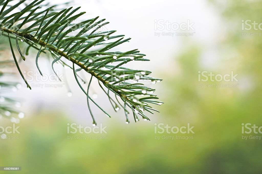 The dew on branches royalty-free stock photo