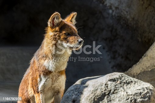 The dhole sitting on the rock and looking away. Asian predators close up.