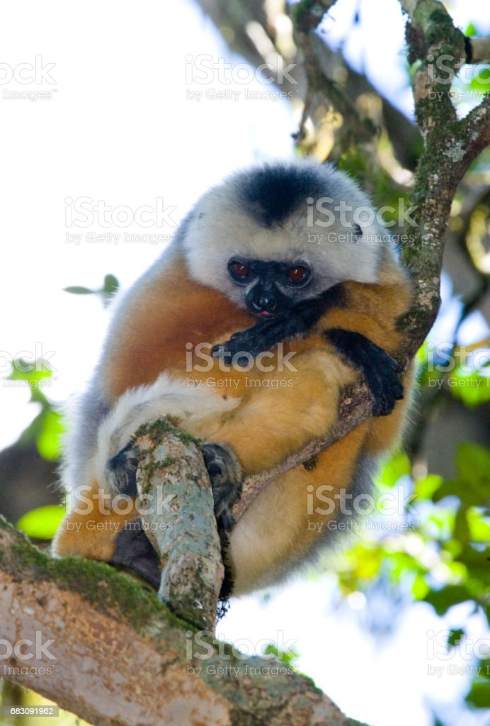 The diademed sifaka sitting on a branch. foto de stock royalty-free