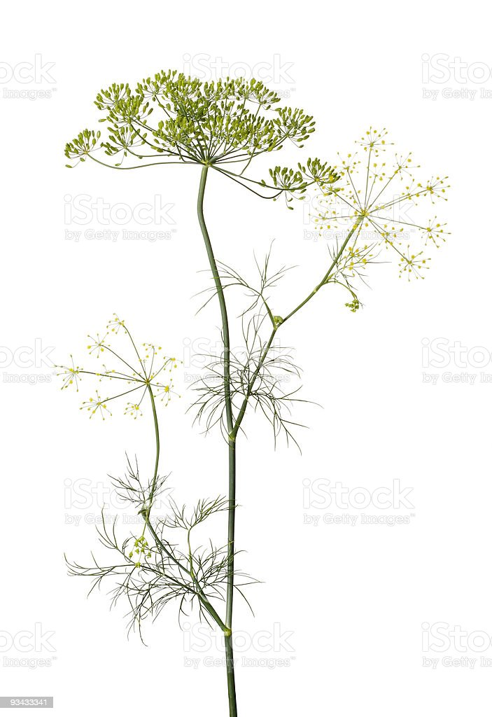 The dill plant growing sparsely on a white background stock photo