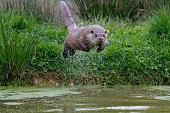 Otter Diving