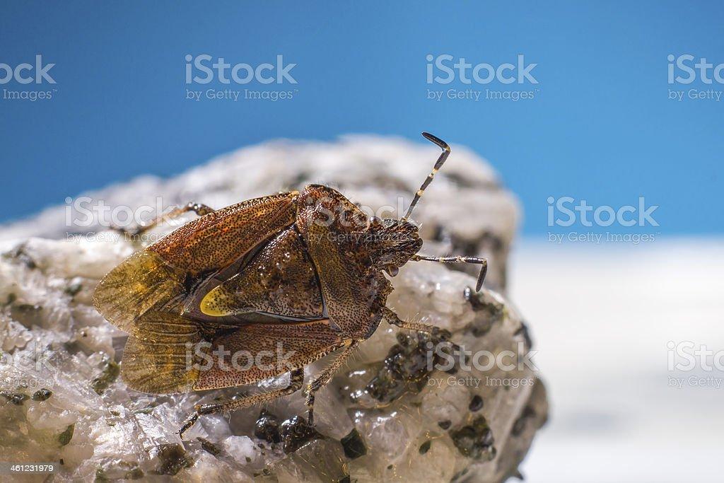 The dock bug (Coreus marginatus) stock photo