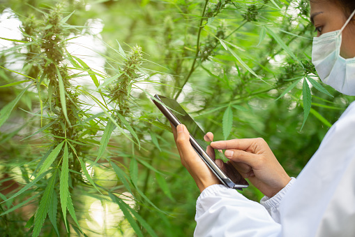 1177762728 istock photo The doctor researched cannabis, Research of hemp oil extracts for medical purposes, CBD Hemp oil. 1207048592