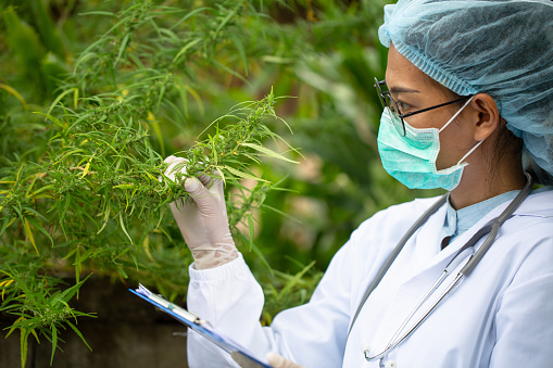 1177762728 istock photo The doctor researched cannabis, Research of hemp oil extracts for medical purposes, CBD Hemp oil. 1256951423