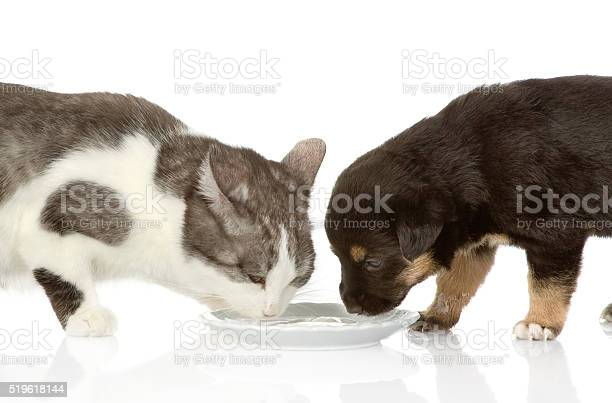 The dog and cat eat together isolated on white background picture id519618144?b=1&k=6&m=519618144&s=612x612&h=bxeit 7dj9ontfu pnu5  mzrults mostnwhokqpri=