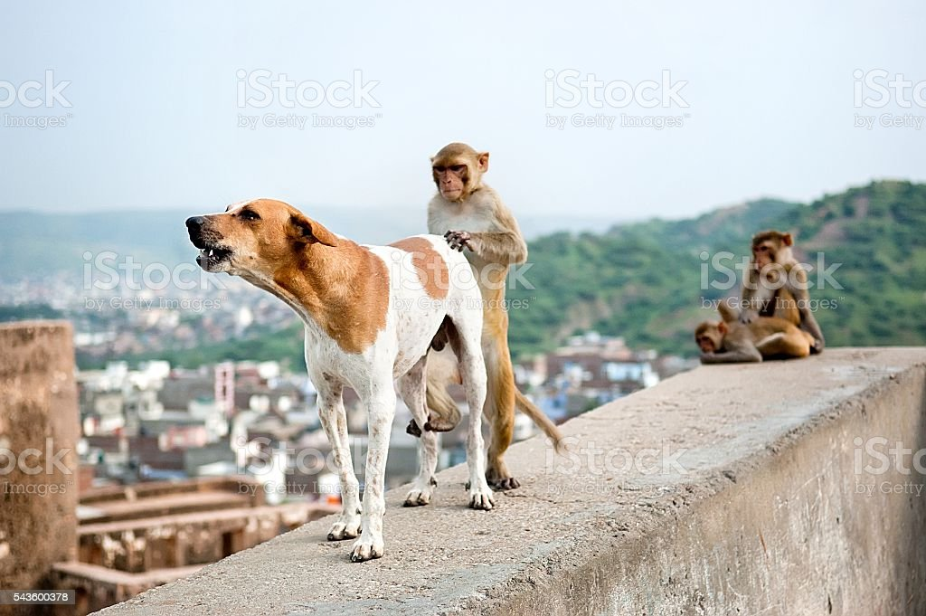 The dog and the monkey engaged in sex stock photo