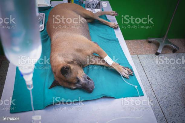 The dog anesthesia lying and drip on the bed waiting for hysterotomy picture id964706094?b=1&k=6&m=964706094&s=612x612&h=hidl6clyltjhprxgrk9ueriltk4mw05nnw98qh xv 4=