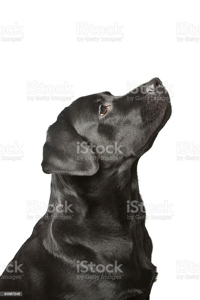 The dog black labrador looks upwards. isolated on white stock photo