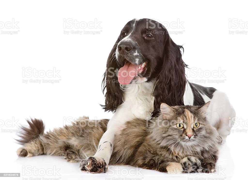 the dog embraces a cat. isolated on white background stock photo