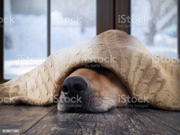 The dog freezes funny dog wrapped in a warm blanket picture id925627090?b=1&k=6&m=925627090&s=612x612&h=07jyhqft3v6axw9 x6mi64eidoffpjjo dsylpjke54=