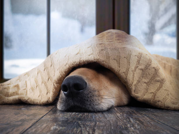 The dog freezes. Funny dog wrapped in a warm blanket stock photo