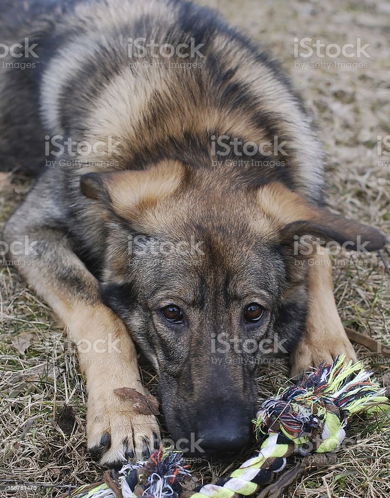 The dog gnaws a toy royalty-free stock photo