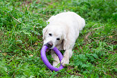 The dog golden retriver plays with a toy on a lawn at park
