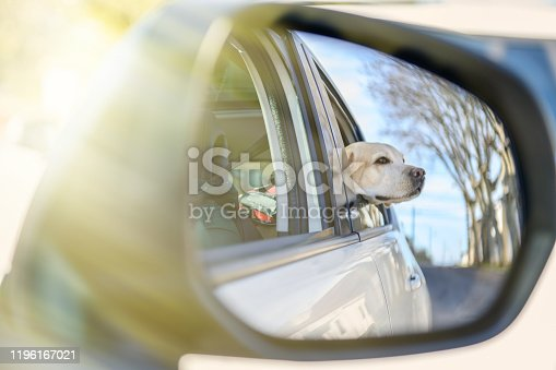 The dog in the car in the back seat looks out the window. The dog looks out of the car window in the back seat.