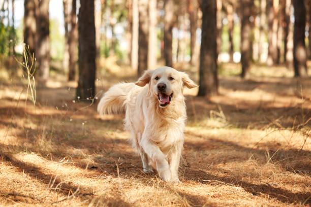 hunden är en labrador i skogen. vänlig hund. - hund skog bildbanksfoton och bilder
