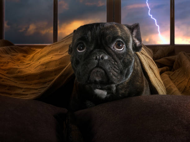 The dog is afraid of thunderstorms. Bulldog hiding under a blanket stock photo