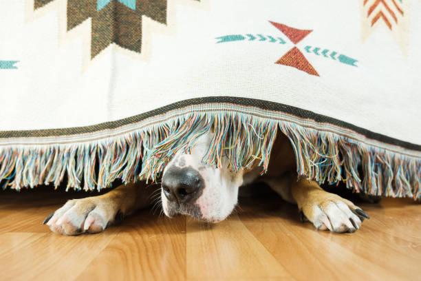 개는 소파 아래에 숨어 외출을 두려워합니다. - 무서움 뉴스 사진 이미지