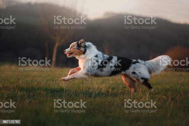 The dog is running around the field on the nature at sunset picture id962125782?b=1&k=6&m=962125782&s=612x612&h=z05hkpjyh2xfvlesvw3xid 1hmasgv7nfo4 i8fquhw=