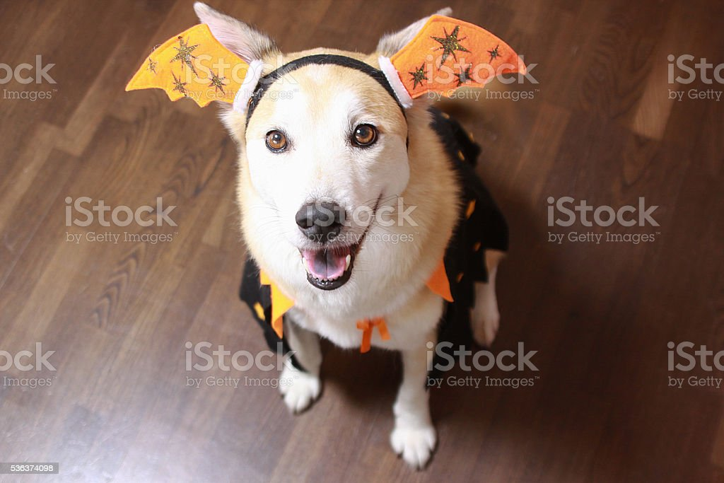 The dog is wearing a Halloween costume. stock photo
