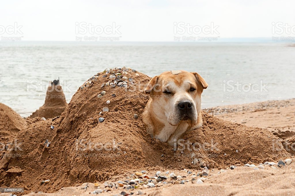 The dog lies buried in the sand on the beach stock photo
