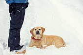 The dog lies in a snowy forest in winter in deep snow at the feet of the owner. Labrador retriever dog looking at the camera