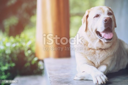 The dog looking sad waiting in front of the house. straight looking face strain depress worry. on background concrete wall, bare cement. Pets concept. Leave copy space empty for text writing.