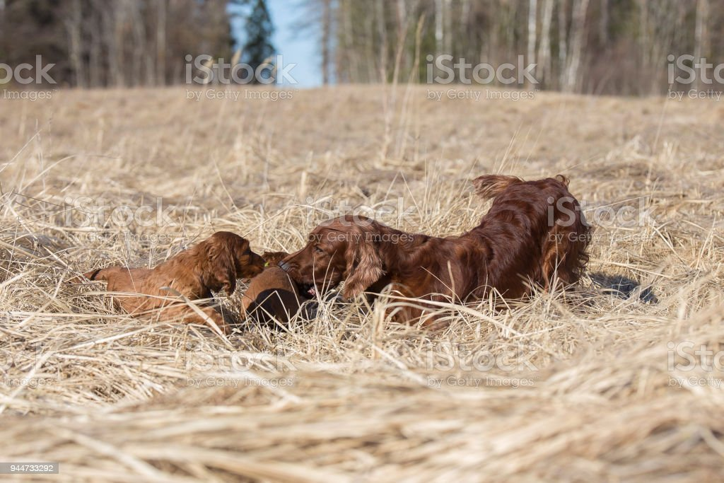The dog plays with her puppies stock photo