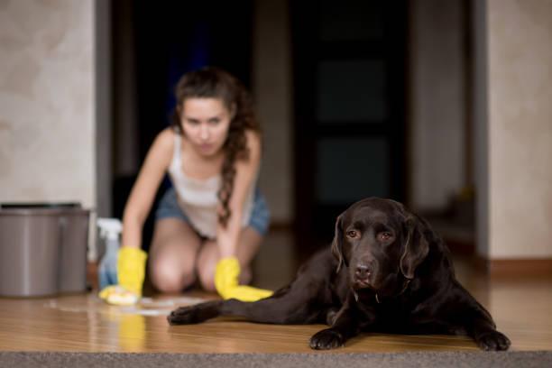 El perro mancha el suelo, el dueño del perro lava el suelo - foto de stock