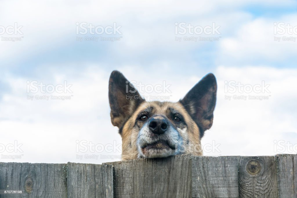 The dog's face on a wooden fence. стоковое фото