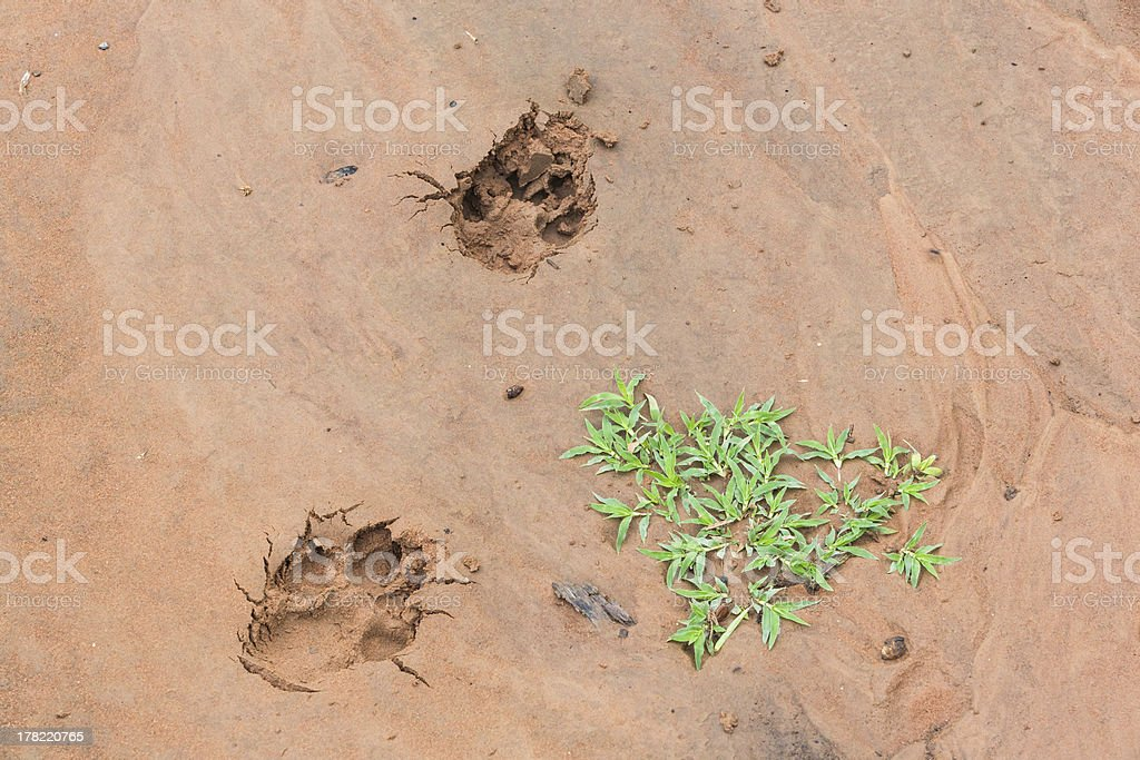 The dogs tracks royalty-free stock photo