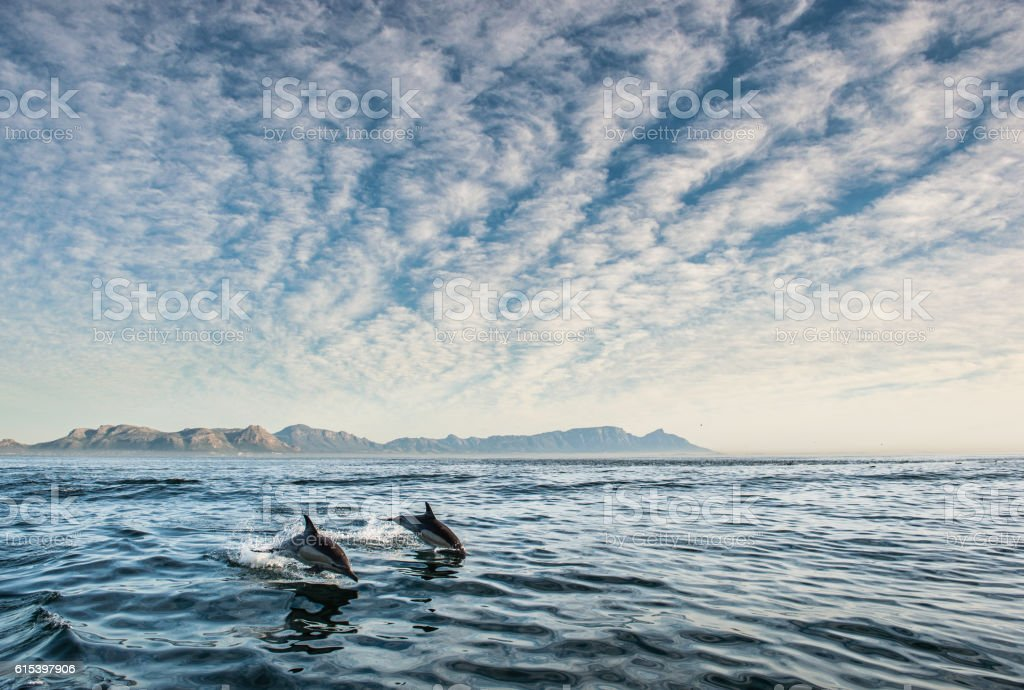 The dolphins swimming in the ocean stock photo